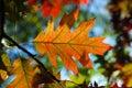 Autumn leafs. Stock Image