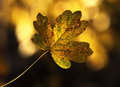 Autumn leave Royalty Free Stock Photos