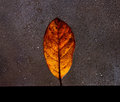 Autumn leave with back lighting Royalty Free Stock Photo