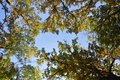 Autumn Leaves With Blue Sky