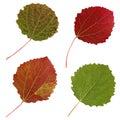 Autumn leaves of aspen, isolate. Royalty Free Stock Photo