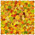 Autumn leaves background of falling maple Royalty Free Stock Photography