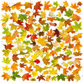 Autumn leaves background falling maple on white Stock Images