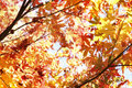 Autumn leaves changing color in forest Royalty Free Stock Image