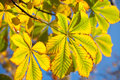 Autumn leaves chestnut on blue sky Stock Images