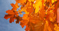 Autumn leaves closeup of with blue sky behind Stock Image