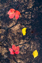 Autumn leaves in the colors red and yellow , float on the surface of a puddle on the road Royalty Free Stock Photo
