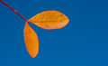 Autumn leaves colourful against blue sky Royalty Free Stock Images