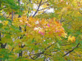 Autumn leaves colourful of maple in Stock Image