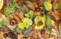 Autumn leaves and conkers in the fall or in the are multicoloured colored is also when fall from the trees Stock Photo