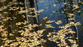 Autumn leaves floating on pond water the Stock Images