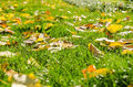 Autumn leaves in fresh green grass dried yellow close up Stock Photos
