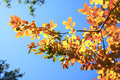 Autumn leaves golden with a blue sky Royalty Free Stock Photos