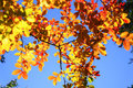 Autumn leaves golden orange blue sky Royalty Free Stock Images