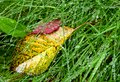 Dripping wet blades of grass with autumn leaves