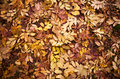 Autumn leaves on the ground/a carpet of leaves Royalty Free Stock Photo