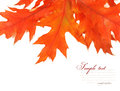 Autumn leaves isolated on white background Royalty Free Stock Image