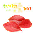 Autumn leaves isolated on a white background parthenocissus quinquefolia studio shot Royalty Free Stock Image