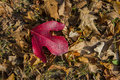Autumn Leaves with Large Red Oak Leaf Royalty Free Stock Photo