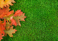 Autumn leaves on moss oak Royalty Free Stock Photo