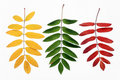 Autumn leaves of a mountain ash Royalty Free Stock Image