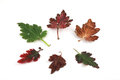 Autumn leaves multi colored on a white background Stock Photo