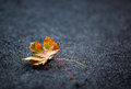 Autumn Leaves one or two freely laid on dark carpet Royalty Free Stock Photo