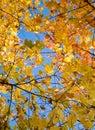 Autumn leaves orange Στοκ Εικόνα