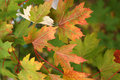 Autumn leaves orange on a green background Royalty Free Stock Photo
