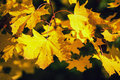 Autumn leaves photo of yellow tree in Stock Photos