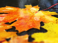 Autumn leaves in puddle Royalty Free Stock Photo