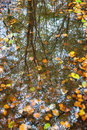 Autumn leaves in a puddle. with refelction of forrest Royalty Free Stock Photo