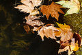 Autumn leaves in a rain puddle Royalty Free Stock Photo