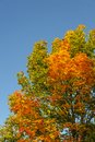 Autumn leaves single tree in fall with brightly colored Stock Photos