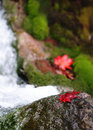 Autumn leaves in stream red maple on the rock mossy Royalty Free Stock Photo