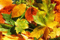 Autumn leaves in sunlight on the forest floor Royalty Free Stock Photo