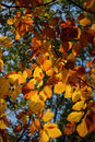 Autumn leaves in the sunlight. Royalty Free Stock Photo