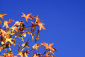 Autumn leaves of a tree in against blue sky background Stock Images
