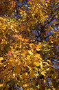 Autumn leaves on the tree yellow Royalty Free Stock Photography
