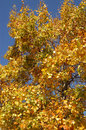 Autumn leaves on the tree yellow Stock Photography