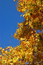 Autumn leaves on the tree yellow Stock Images