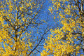Autumn leaves and trees yellow twigs branches in full colors Stock Images