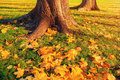 Autumn leaves under the autumn trees - autumn park in sunset light with autumn leaves on the foreground Royalty Free Stock Photo