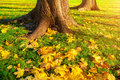 Autumn leaves under the autumn trees at sunset - autumn park in sunset light with autumn leaves on the foreground Royalty Free Stock Photo