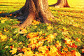 Autumn leaves under the autumn trees at sunset - autumn park in sunset light with autumn leaves on the ground Royalty Free Stock Photo