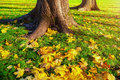 Autumn leaves under the autumn trees at sunset - autumn park in sunshine with autumn leaves under the tree Royalty Free Stock Photo