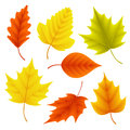 Autumn leaves vector set for fall seasonal elements with maple and oak leaf