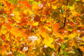 Autumn leaves , very shallow focus. Stock Photography