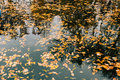 Autumn leaves in the water. Autumn lake in the park. Fallen leav