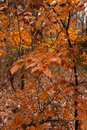 Autumn leaves in the woods. Royalty Free Stock Photo